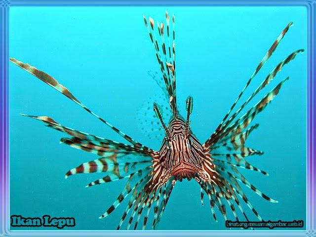 gambar ikan lepu