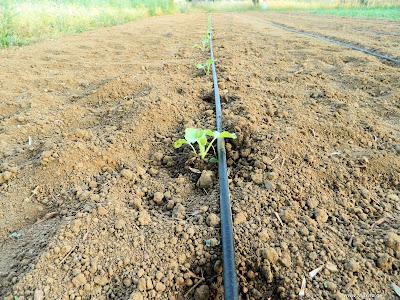 Πεπόνι σπορά φύτεμα καλλιέργεια