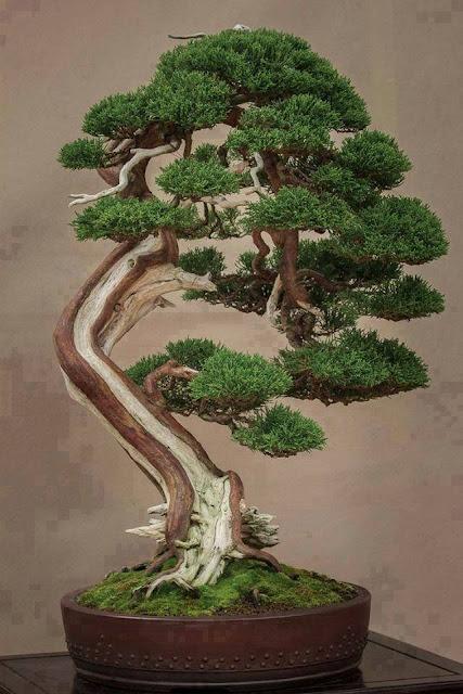 pohon bonsai yang sangat luar biasa