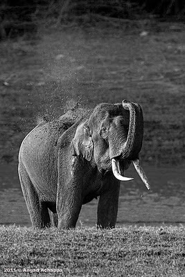 tusker or bull indian elephant