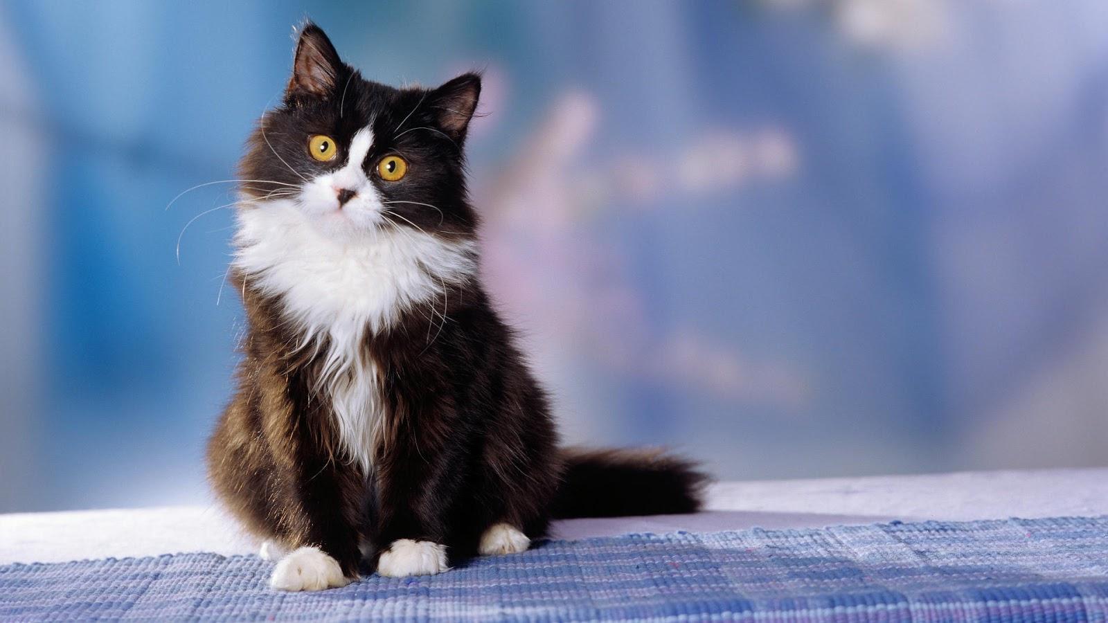 Magnifique chat fond d 39 cran hd fonds d 39 cran hd for Enregistrer image ecran