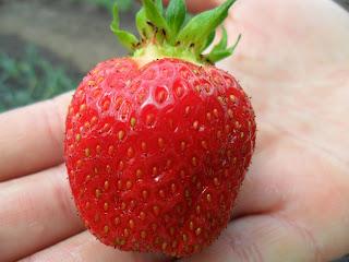 Первые ягодки клубники 3