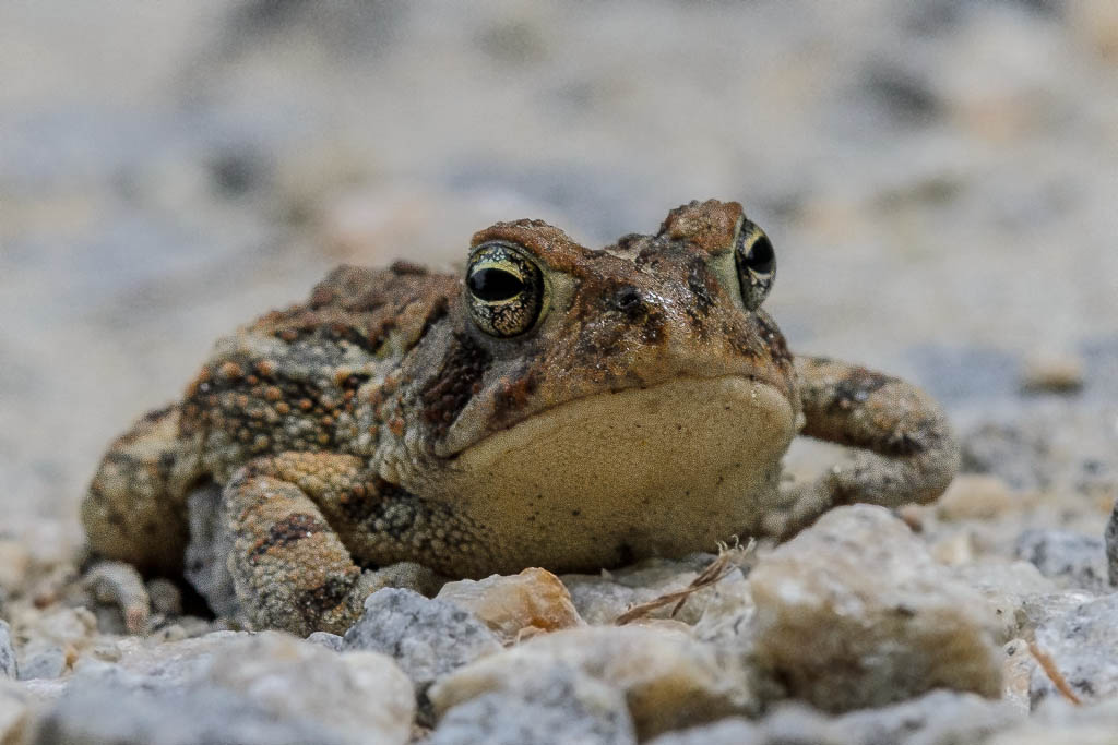 Fowlers Toad vs American Toad Fowler 39 s Toad