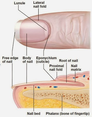 GioNails: Anatomy of the Nail