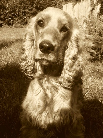 English cocker spaniel sepia Saturday headshot