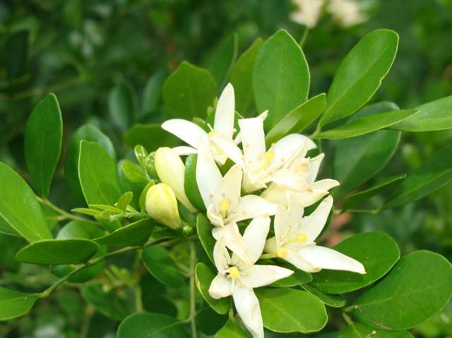 Murta-de-cheiro - Murraya paniculata