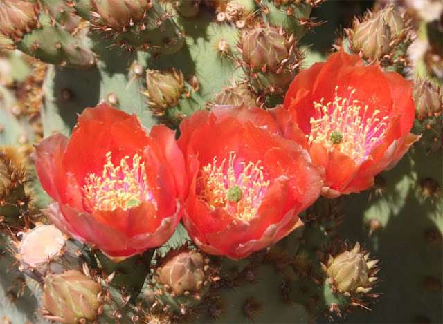 Beautiful Cactus Flowers6