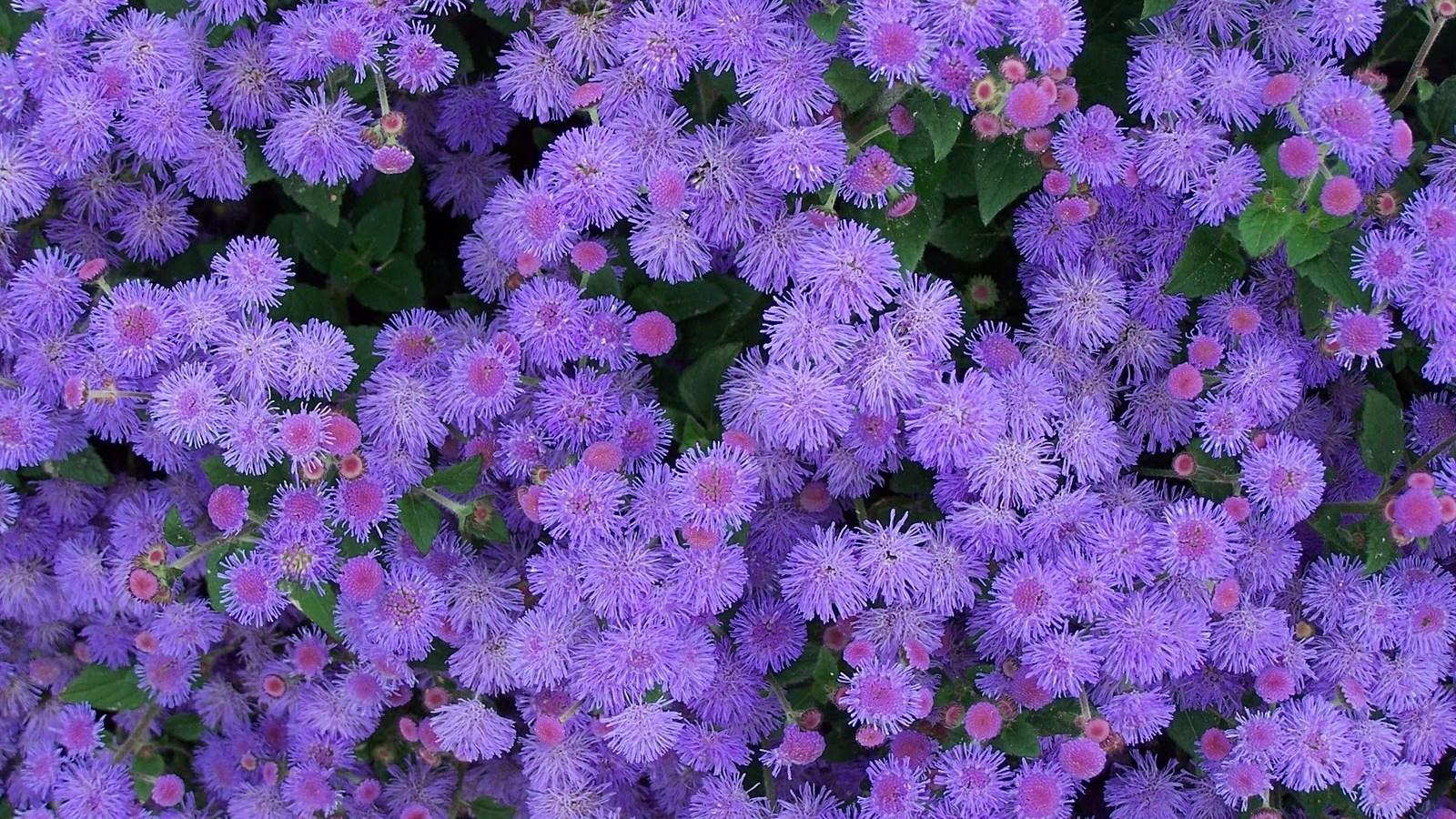 Ageratum flowers 1600 x 900 hd