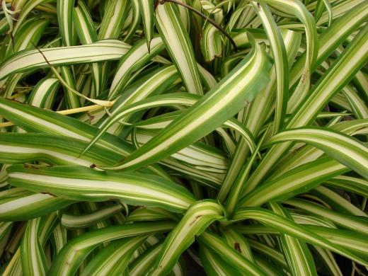 Хлорофітум chlorophytum