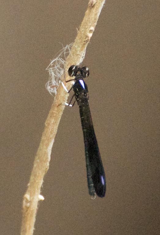Rhinocypha fenestrella