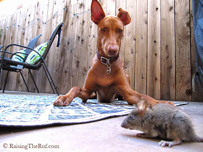 funny dog and mouse, animals