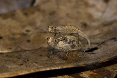 pygmy chameleons animal planet