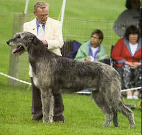 Irish Wolfhound Wolf