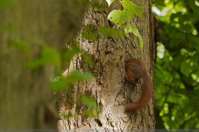 Rode Eekhoorn - Red Squirrel - Sciurus vulgaris