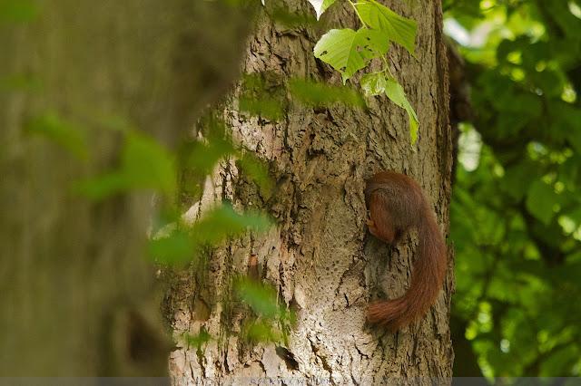 Rode Eekhoorn - Red Squirrel - Sciurus vulgaris