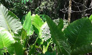 Thailand wild edible plants - Taro