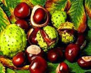 Castanha da índia uso medicinal