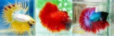ikan kecik, cantik, warna cemerlang, mampu bertahan hidup, menjadi diri aku, ikan pelaga