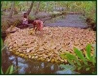Retting of coconut fiber.