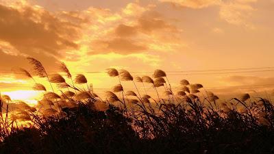 Wallpaper Theme Wild Grass at Sunset 1366x768