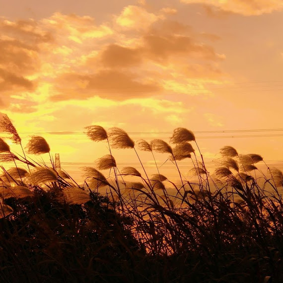 cantiknya ladang gandum