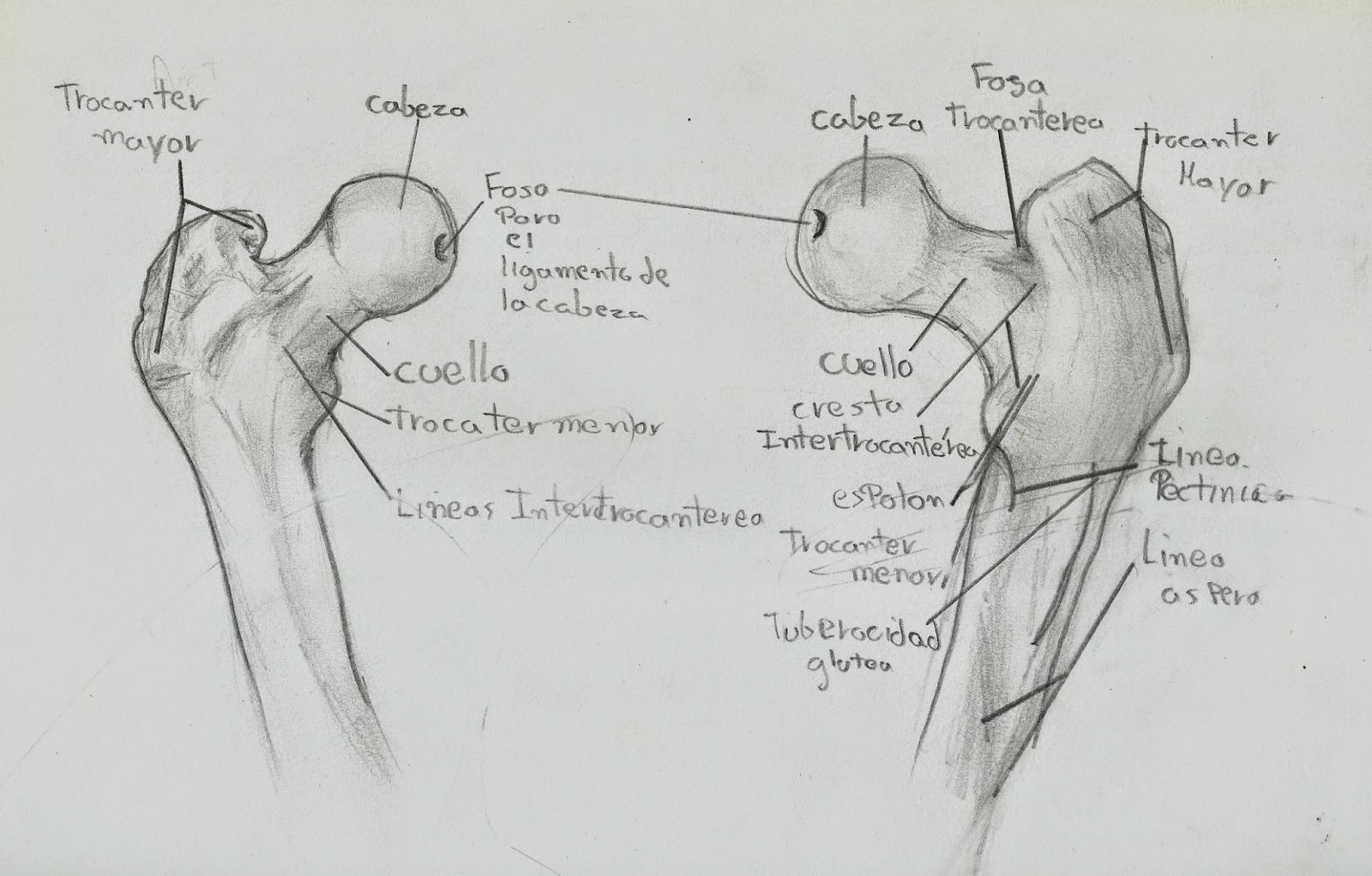 Anatomía Humana LMP