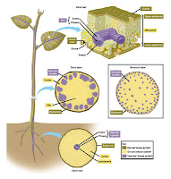jaringan tumbuhan,jaringan tumbuhan,jaringan tumbuhan dan hewan,jaringan tumbuhan dan fungsinya,jaringan tumbuhan ppt,jaringan tumbuhan adalah,jaringan tumbuhan beserta fungsinya,jaringan tumbuhan pdf,jaringan tumbuhan dan gambarnya,jaringan tumbuhan wikipedia,jaringan tumbuhan kelas 11