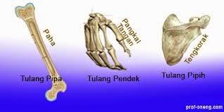Bentuk-bentuk tulang, terdiri dari tulang pipa, tulang pendek,  tulang pipih , dan tulang tidak beraturan
