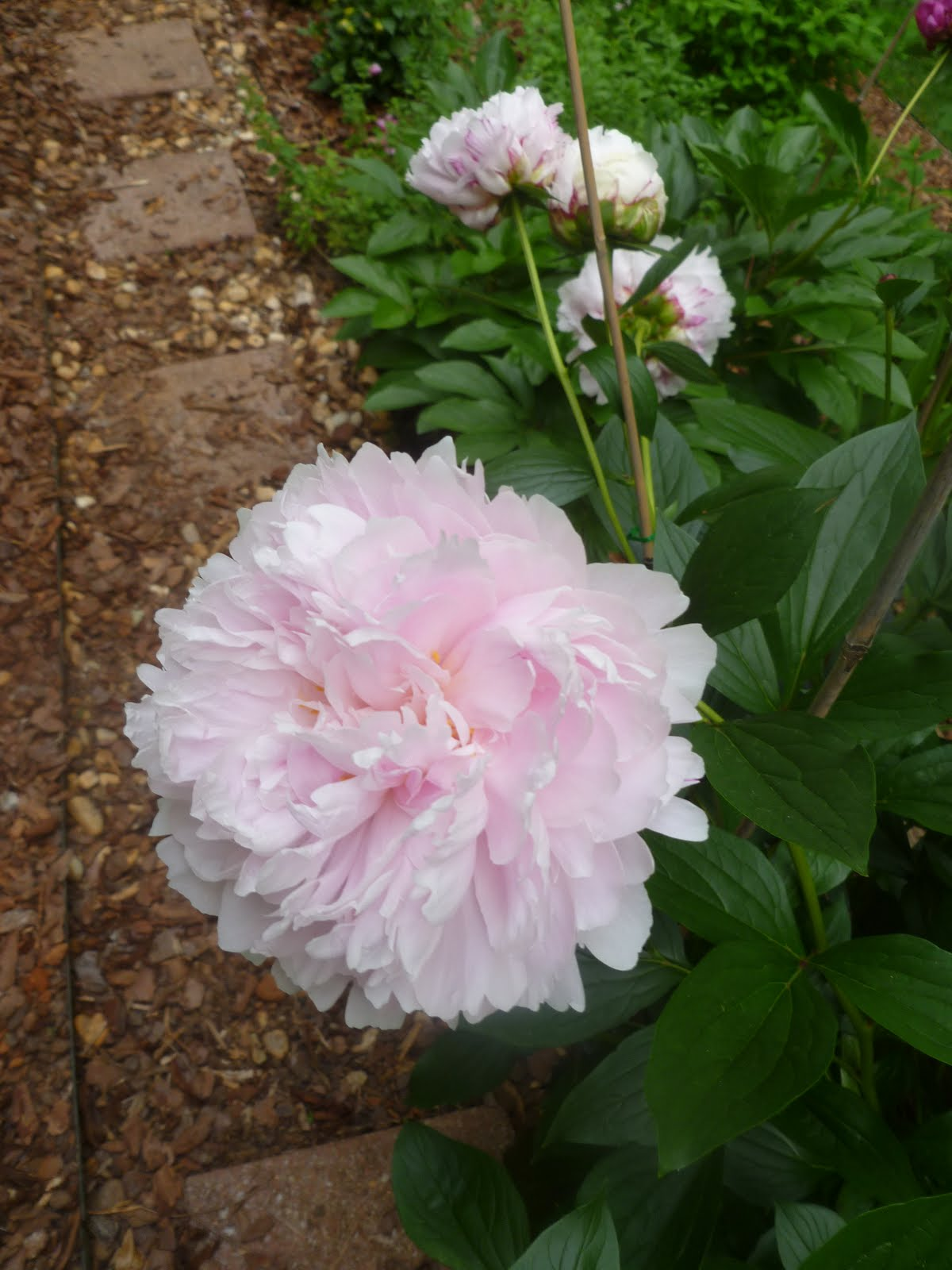 Peony Sarah Bernhardt