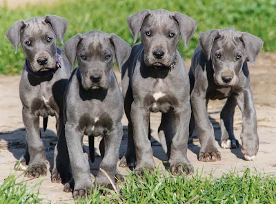 About Dog Great Dane Is Your Great Dane Potty Trained Enough