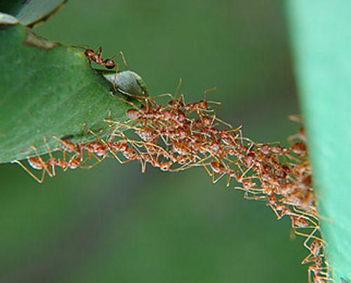 Cooperation Ants