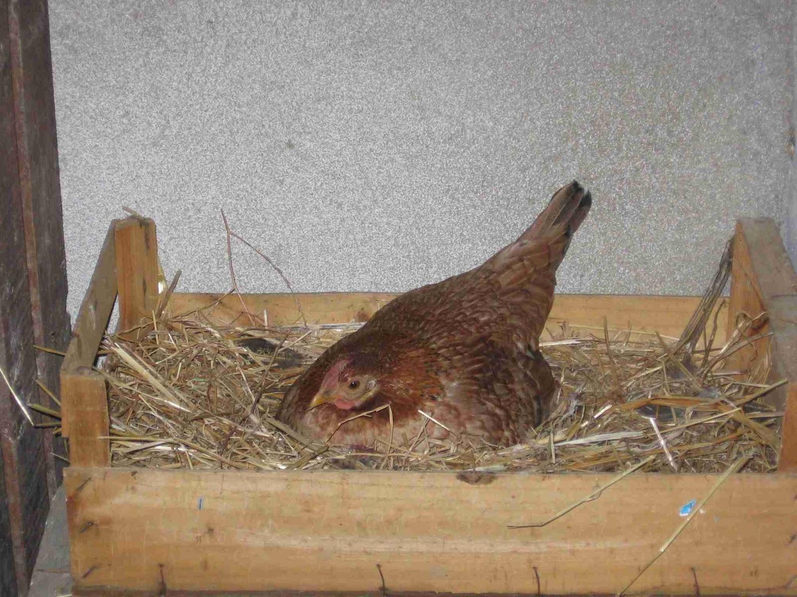 galhos bugalhos galinhas chocas
