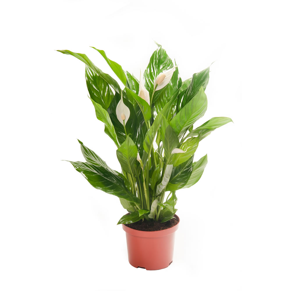 5 Peace Lily Spathiphyllum