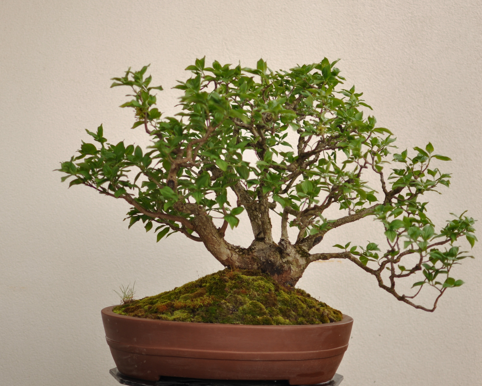 Maros Bonsai Blog Cornus Mas No1