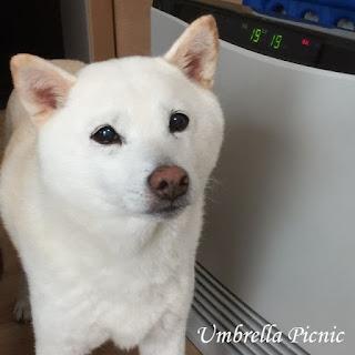 白柴犬_くー20151130