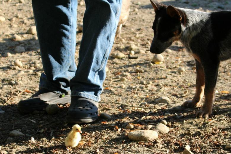 Duckling exploring