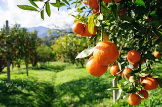How to Starting Citrus Farming Business