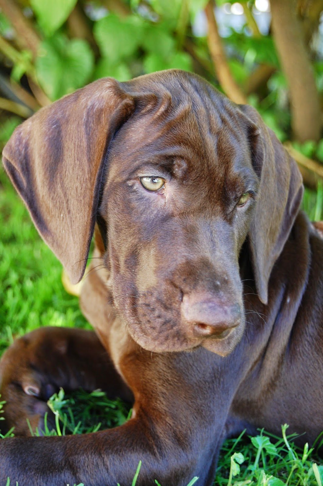 xeno, deutschkurzhaar, dkh, jagdhund, vorstehhund, gsp, germanshorthairedpointer, germanshorthairpointer, germanshorthair, gundog, huntingdog, dog, best friend, pet, hund, haustier, bester freund, pfoten, xenobiophilia, lifestyleblog