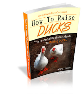 how to raise ducks