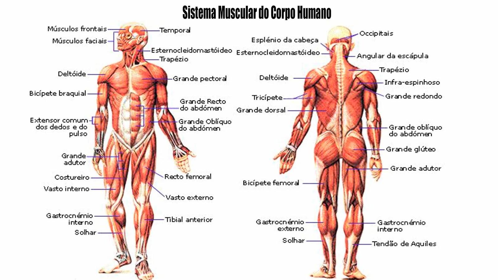 Contemporáneo Gráfico De La Anatomía Muscular Humana Ilustración ...