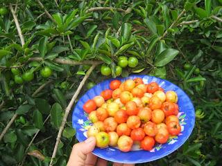Kỹ thuật trồng cây sơri