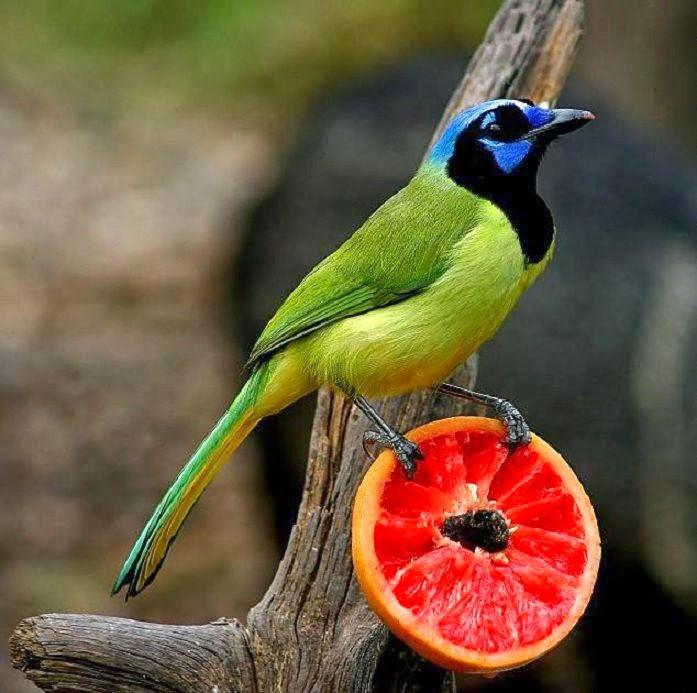 Green Jay Bird