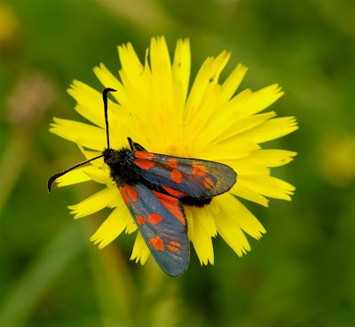 Six-spot Burnet Zygaena filipendulae