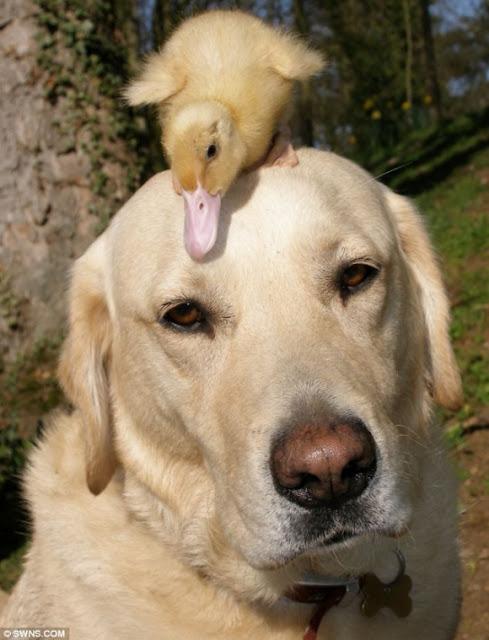 Labrador Adota Patinho Após ele perder a mãe