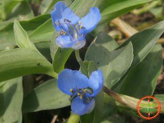 Bunga Rumput Warna Biru