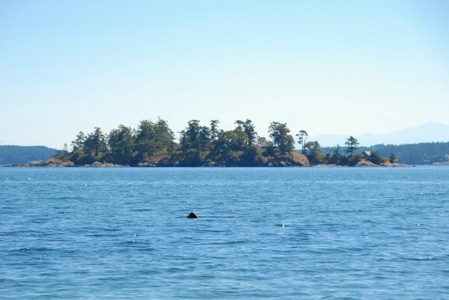 shark, whale siting, san juan island