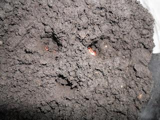 Посев клещевины