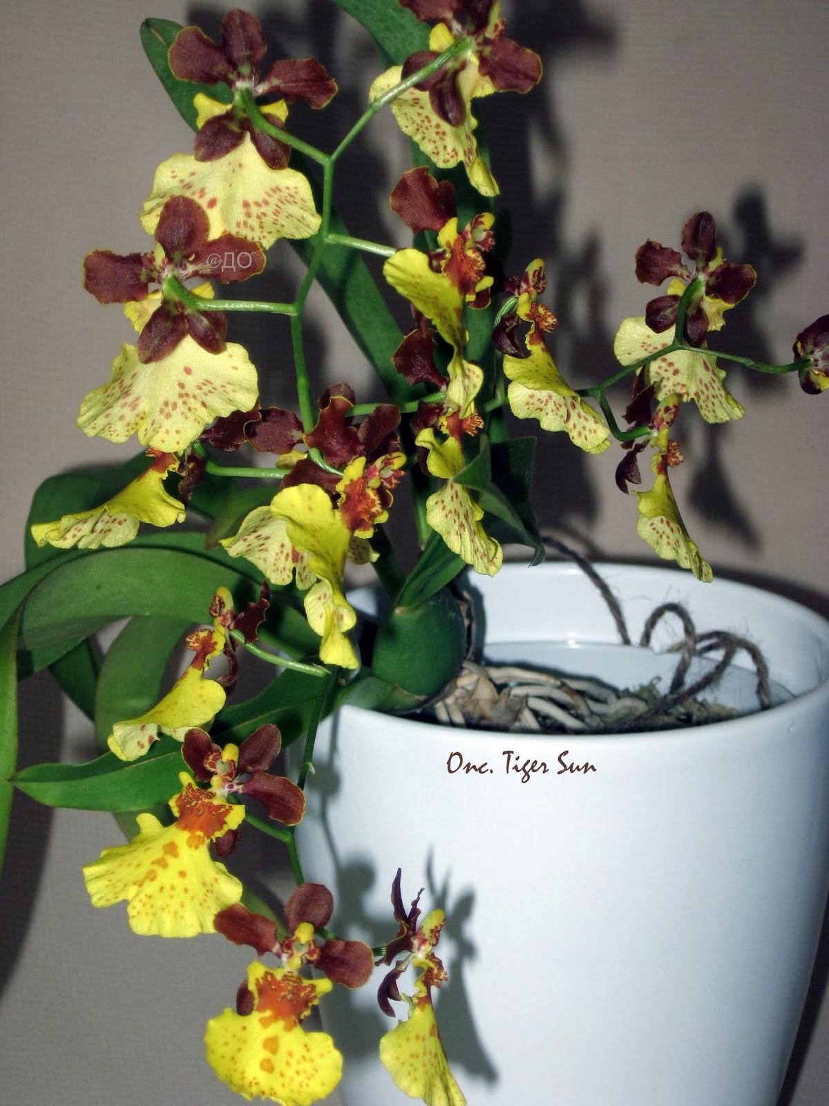 Oncidium Tiger Sun - цветочки ну чем не тигрята