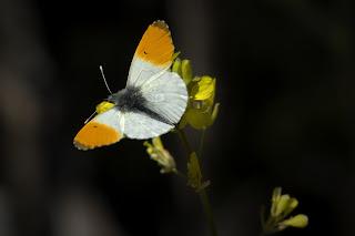 Para ampliar Anthocharis cardamines (Mariposa aurora, musgosa) macho anverso hacer clic