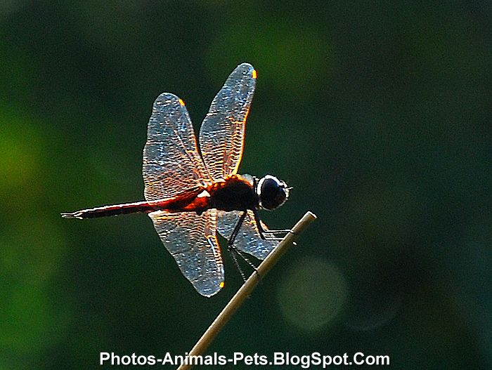 http://2.bp.blogspot.com/-24A2H3BGR7c/Ti2p10nLqQI/AAAAAAAAB0Y/YST4SWZ70kI/s1600/Dragonfly%2Bpictures%2B_0002.jpg